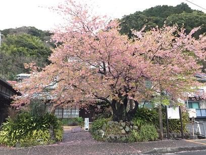 223桜.jpg