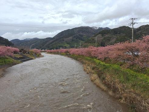 223河津桜 河.jpg