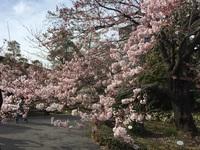 国立劇場の桜まつり2.jpg